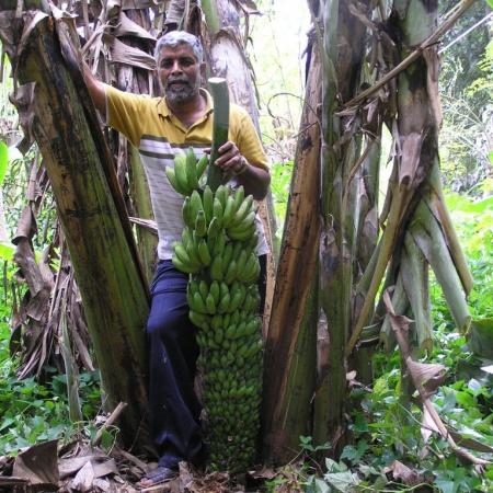 Kailash Murthy - natural farming banana trees